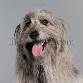 Close-up of Pyrenean Shepherd dog, 18 months old, in front of grey background