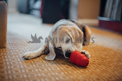 A beagle laying in the living room enjoying a stuffed kong
