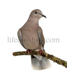 African collared dove perched and isolated on white