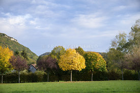 Acer and beech trees in autumn, fall colour with vivid yellow leaves in France.