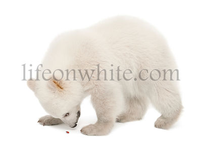 Polar bear cub, Ursus maritimus, 6 months old, looking at ladybug against white background