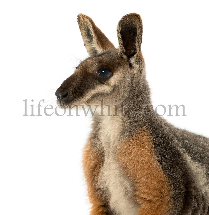 Close-up of a Yellow-footed rock-wallaby, Petrogale xanthopus, isolated on white