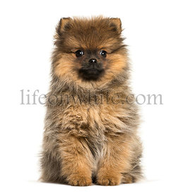 Pomeranian, 3 months old, sitting in front of white background