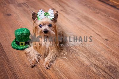 Female yorkie for St.Patrick's Day