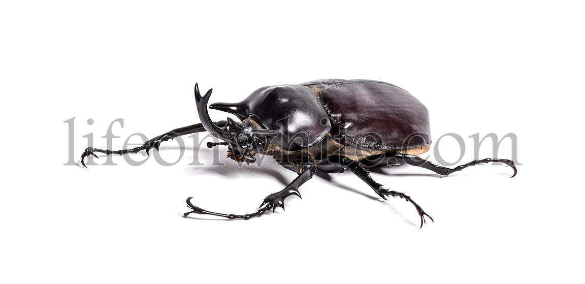 Actaeon beetle, Megasoma actaeon, a rhinoceros beetle, in front of white background