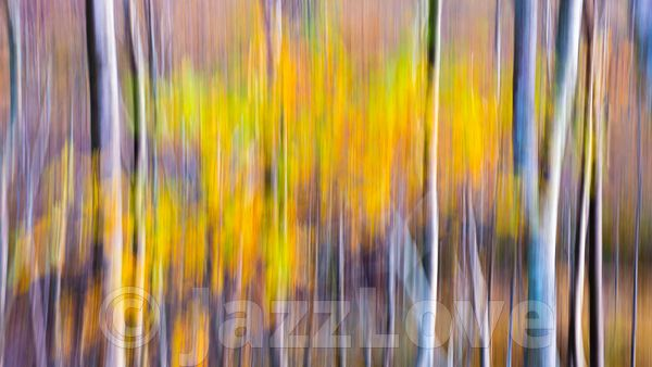Birch trees in autumn woodland.ICM nature abstract.