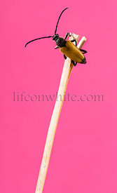 Soldier Beetle on a twig in front of a pink background