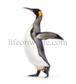 Blury walking King penguin, isolated on white
