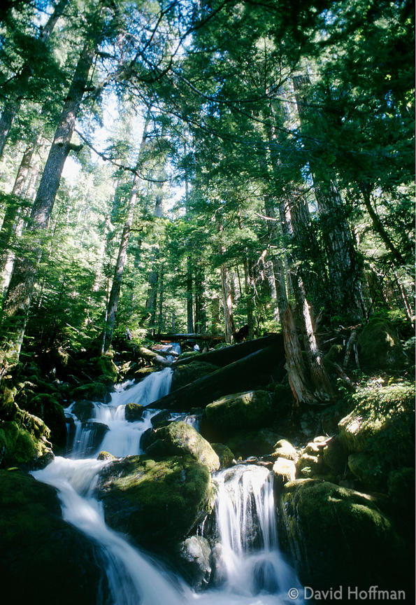 Ancient forest, Vancouver Island, BC, Canada. Only 6% of the original forests are protected