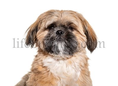 Groomed Beige Shih Tzu dog gromed, Isolated