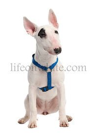 Bull Terrier puppy (7 months old)