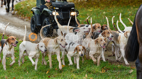 Hounds arriving at the meet - Fitzwilliam Hunt Opening Meet