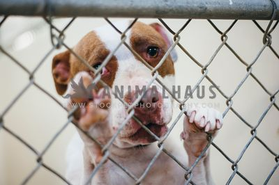 A large bully breed pleading through the chain link at an animal  shelter