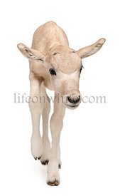 Addax, Addax nasomaculatus, 3 days old, standing in front of white background