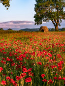 Poppy field Baslow shepherd's hut