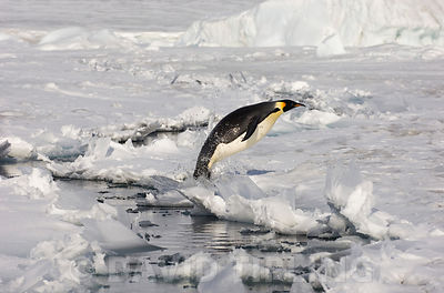 Emperor Penguin Aptenodytes forsteri leaping out of lead in sea ice Snow Hill Island  Weddell Sea Antarctica November
