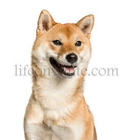 Close-up of Shiba Inu, in front of white background