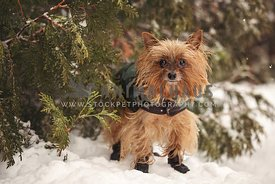 Yorkie with winter coat and boots