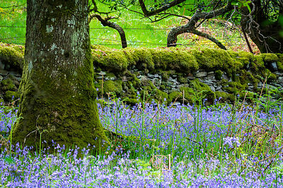 Bluebells blooming on Scottish woodland meadow.