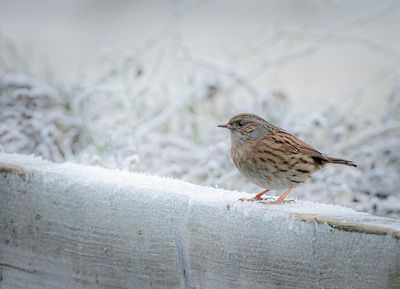 dunnock_close_up_carr_vale_fs_00734
