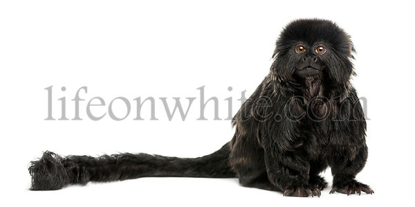 Goeldi\'s marmoset sitting, looking up, Callimico goeldii, 7 years old, isolated on white