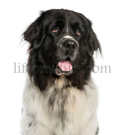 Close-up of a Newfoundland dog panting, looking up, 2 years old, isolated on white