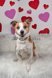 terrier mix sitting in front of backdrop with hearts on it