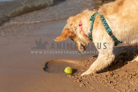 A golden retriever playing with a tennis ball in the sand