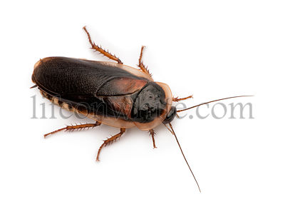 Dubia cockroach, Blaptica dubia, in front of white background