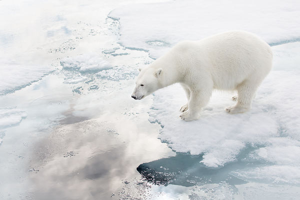 Polar Bear Walking On Ice I