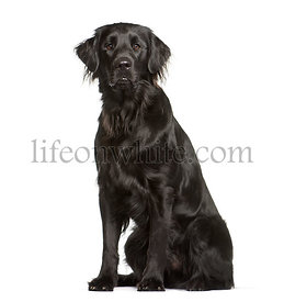 Flat Coated Retriever sitting in front of white background
