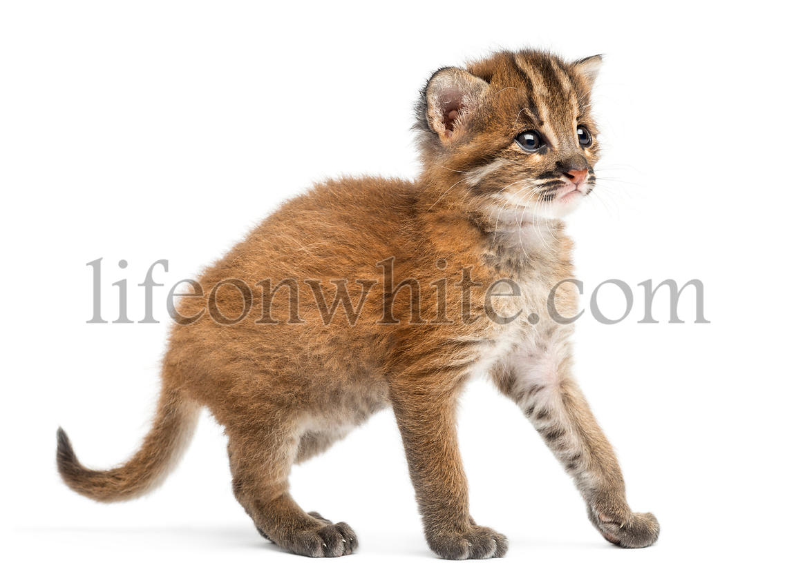 Standing Asian golden cat, Pardofelis temminckii, 4 weeks old