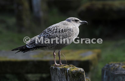 Juvenile European Herring Gull (Larus argentatus ssp argenteus), Cromarty East Church burial ground, Black Isle, Highland, Sc...