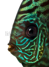 Close-up of a Blue snakeskin discus\' head, Symphysodon aequifasciatus, isolated on white