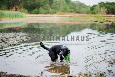 A black lab wearing a green bandana retrieving a stick from the lake
