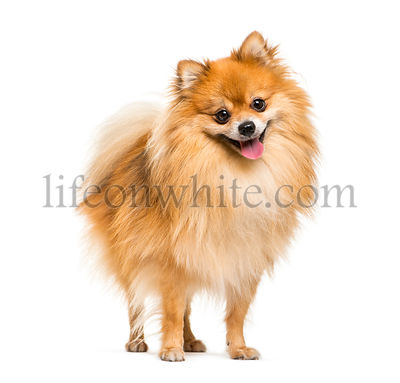 Pomeranian, 2 years old, in front of white background