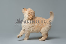 full body side view of golden retriever puppy on grey backdrop