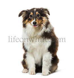 dog sitting against white background