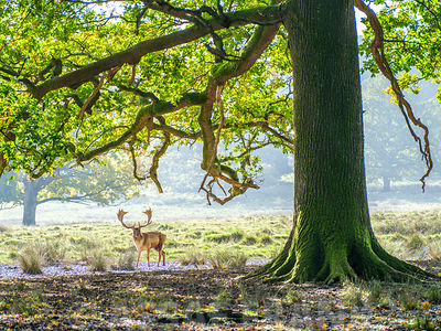 Stag under an old oak tree