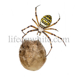 Wasp Spider, Argiope bruennichi, hanging on its egg sack against white background