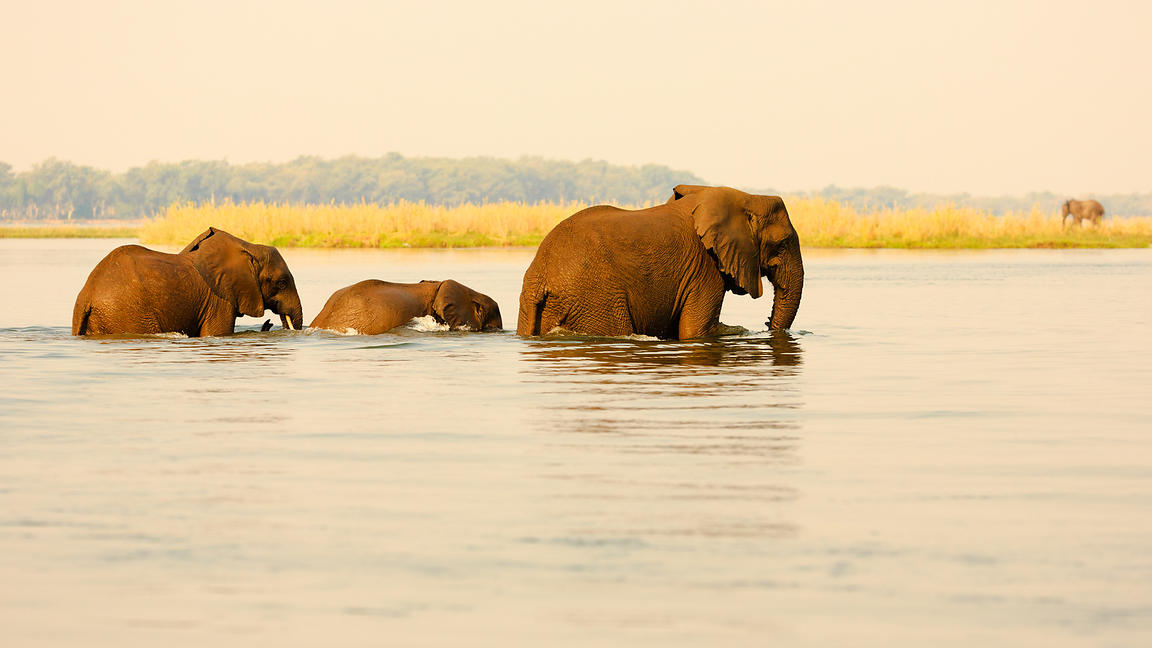 Elephants Crossing Zambezi River