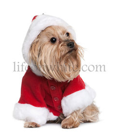Yorkshire in Santa Claus suit, 4 years old, sitting in front of white background