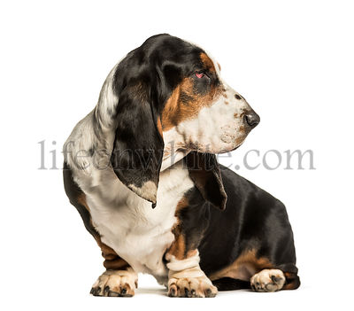 Basset Hound sitting against white background