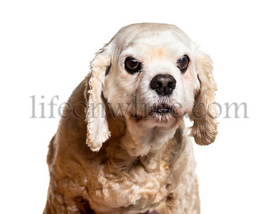 Headshot of an Old American Cocker Spaniel, isolated on white