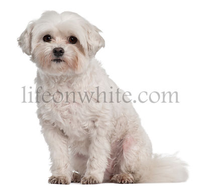 Coton de Tulear, 7 years old, sitting in front of white background