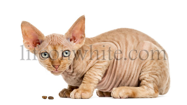Side view of a Devon rex eating isolated on white