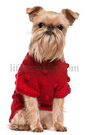 Griffon Bruxellois in red sweater, 3 and a half years old, sitting in front of white background