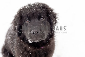 A snowy newfoundland puppy looking up