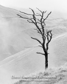 Prints & Stock Image - Dead Scots Pine tree above Silver Glen, Ochil Hills, Clackmannanshire, Scotland.