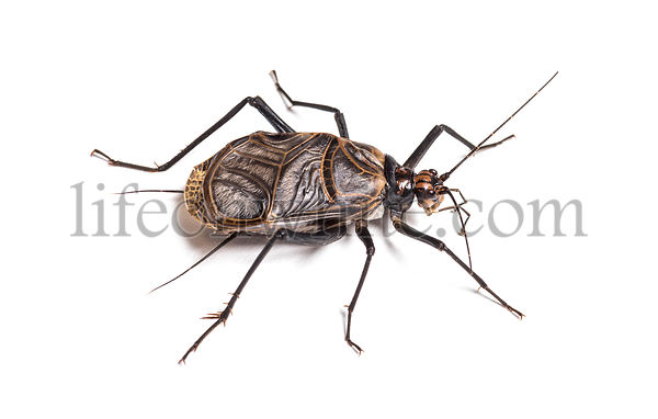 Ethiopian Cricket, Homoeogryllus xanthographus, in front of white background